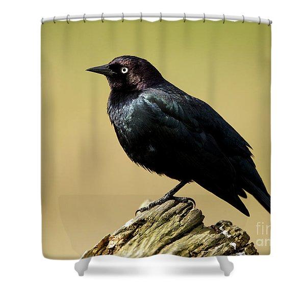 Brewers Blackbird Resting On Log Shower Curtain
