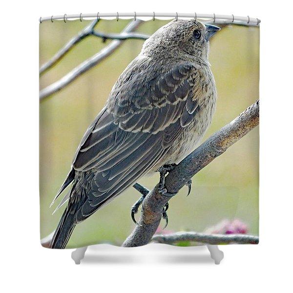 Brown Beauty - Immature Cowbird Shower Curtain