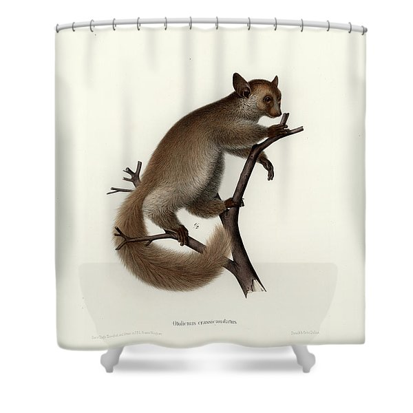 Brown Greater Galago Or Thick-tailed Bushbaby Shower Curtain