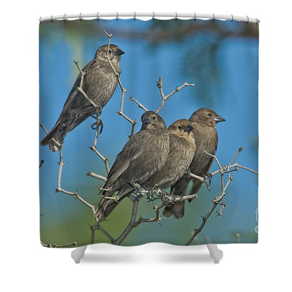 Brown-headed Cowbirds Shower Curtain