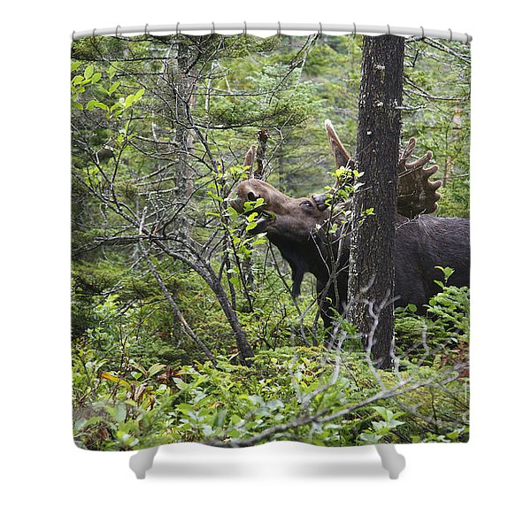 Shower Curtain featuring the photograph Bull Moose  - White Mountains New Hampshire  by Erin Paul Donovan