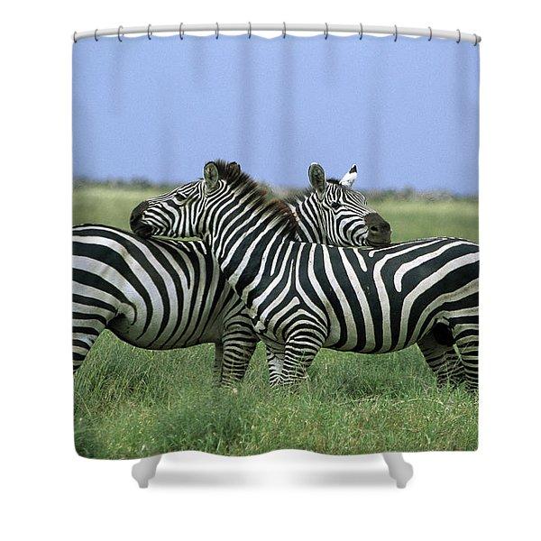 Burchells Zebra Equus Burchellii Pair Shower Curtain