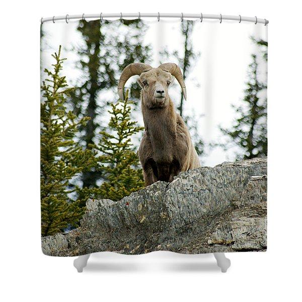 Canadian Bighorn Sheep Shower Curtain