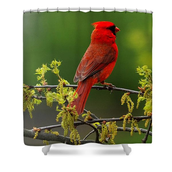 Cardinal In Early Spring Shower Curtain