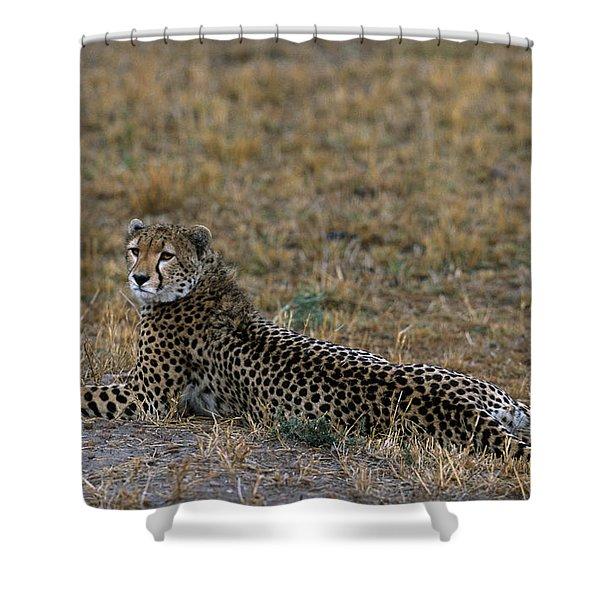 Cheetah At Rest Shower Curtain