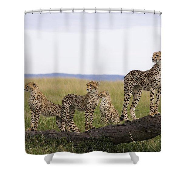 Cheetah Mother Cubs Masai Mara National Shower Curtain