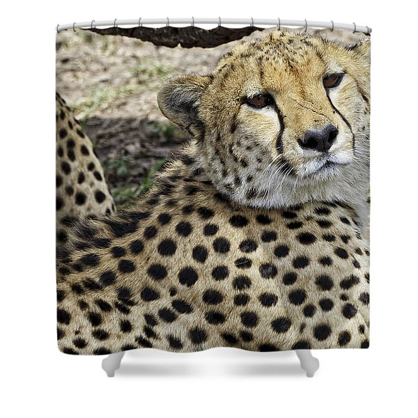 Cheetahs Resting Shower Curtain