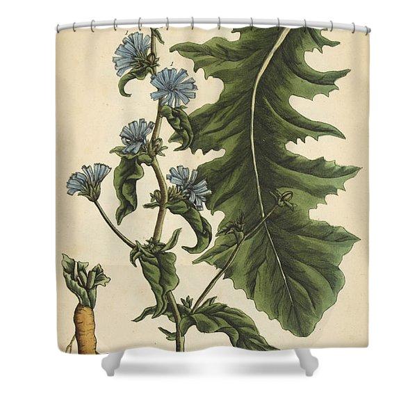 Chicory, Medicinal Plant, 1737 Shower Curtain