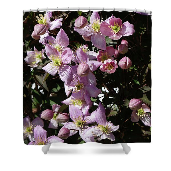 Clematis Montana  In Full Bloom Shower Curtain