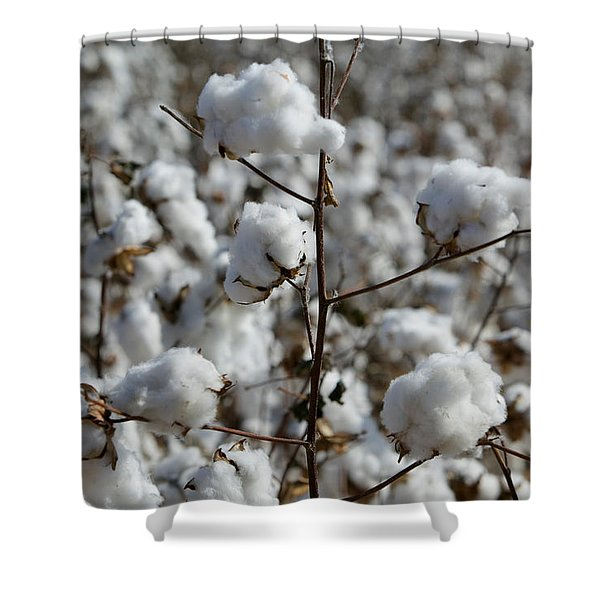Close-up Of Cotton Plants In A Field Shower Curtain