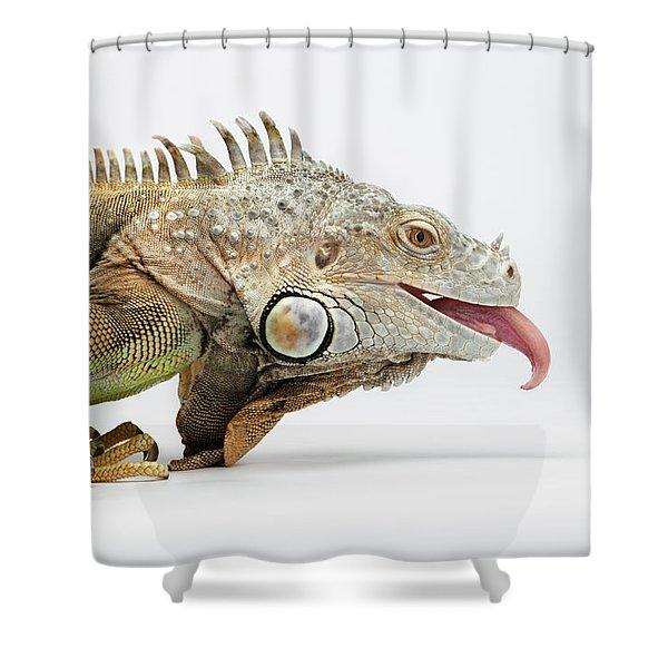 Closeup Green Iguana Showing Tongue On White Shower Curtain
