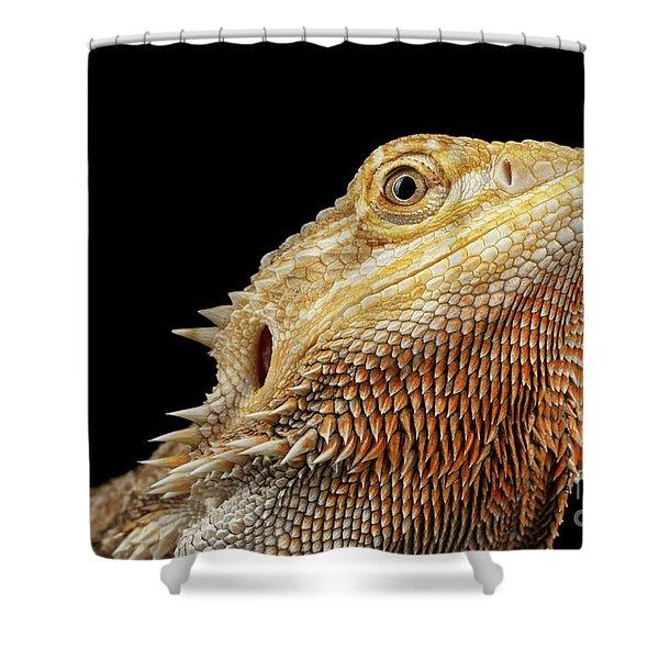 Closeup Head Of Bearded Dragon Llizard, Agama, Isolated Black Background Shower Curtain