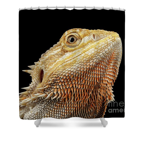Closeup Head Of Bearded Dragon Llizard, Agama, Isolated Black Background Shower Curtain