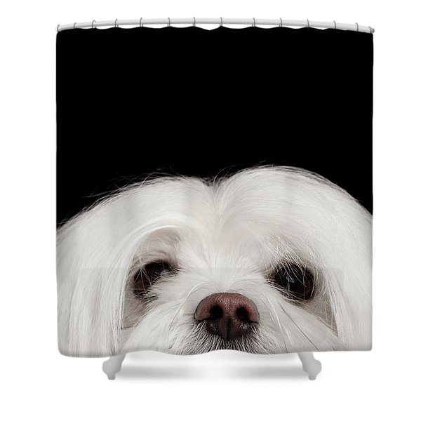 Shower Curtain featuring the photograph Closeup Nosey White Maltese Dog Looking In Camera Isolated On Black Background by Sergey Taran