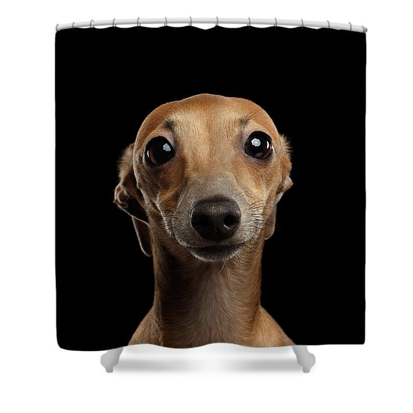 Closeup Portrait Italian Greyhound Dog Looking In Camera Isolated Black Shower Curtain