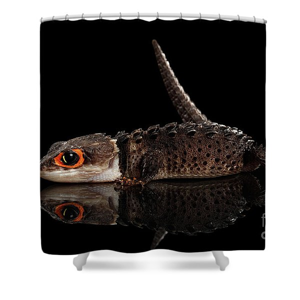 Closeup Red-eyed Crocodile Skink, Tribolonotus Gracilis, Isolated On Black Background Shower Curtain