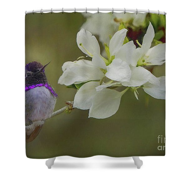 Costas Hummingbird On An Anacacho Orchid Branch Shower Curtain