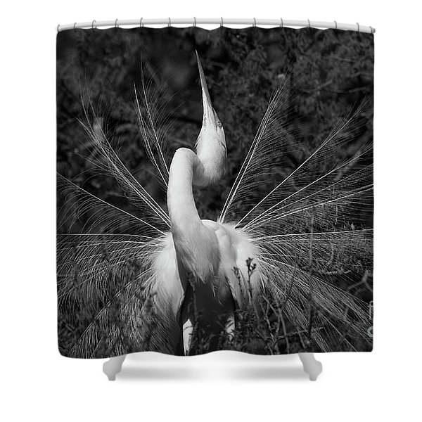 Great Egret Courtship Plumes Shower Curtain