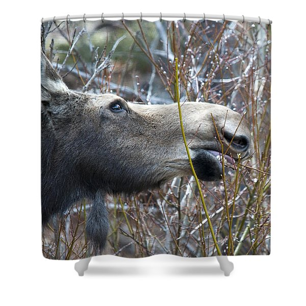 Cow Moose Dining On Willow Shower Curtain