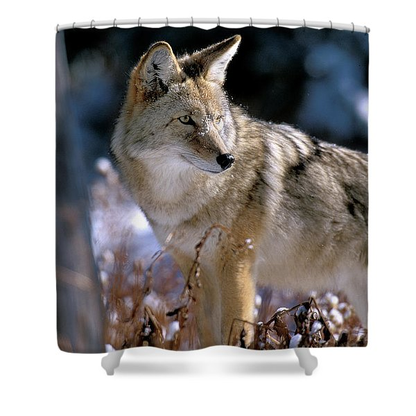 Coyote In Winter Light Shower Curtain