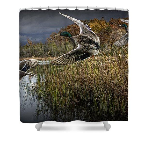 Drake Mallard Ducks Coming In For A Landing Shower Curtain