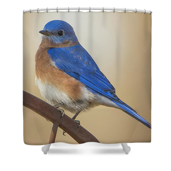 Eastern Blue Bird Male Shower Curtain