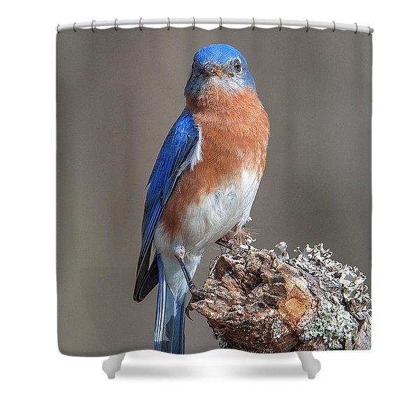 Eastern Bluebird Dsb0300 Shower Curtain
