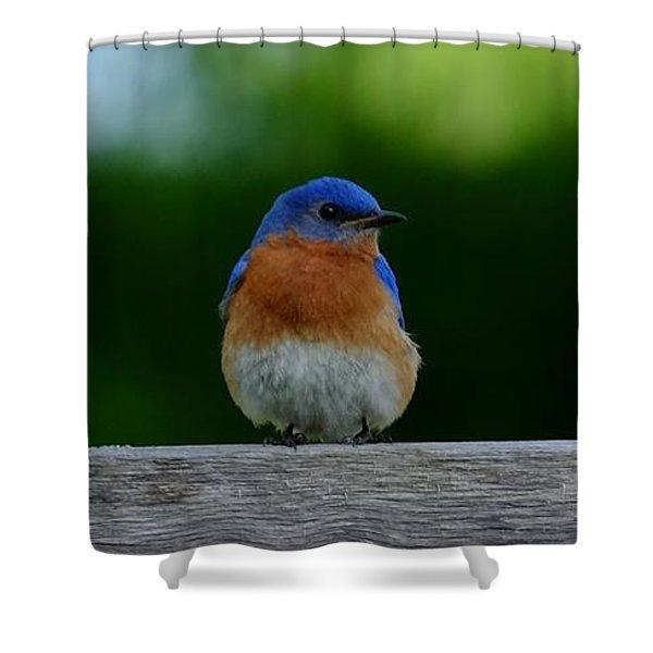 Eastern Bluebird - Male Shower Curtain