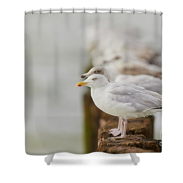 European Herring Gulls In A Row Fading In The Background Shower Curtain