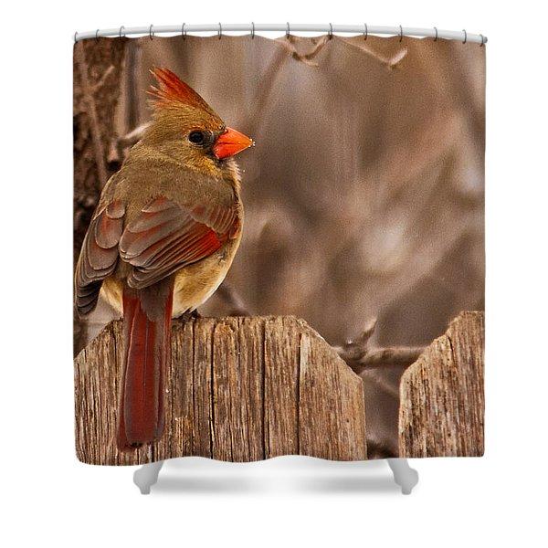 Female Cardinal On The Fence Shower Curtain