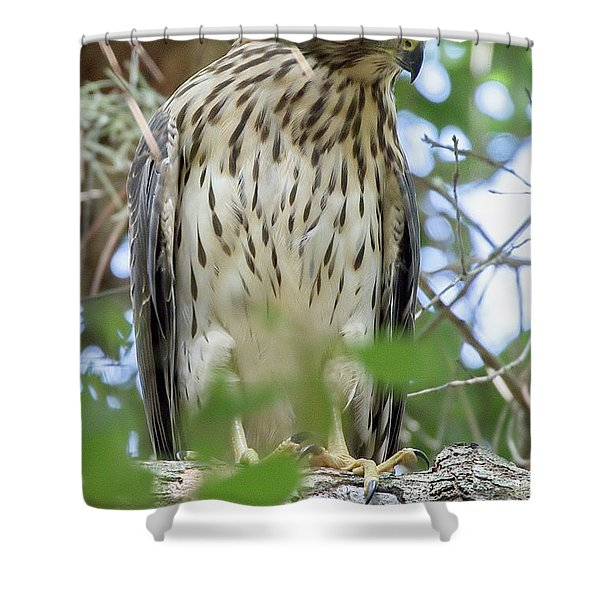 Fledgling Red-shouldered Hawk 2 Shower Curtain