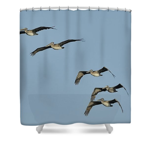 Flock Of 5 Pelicans  Shower Curtain