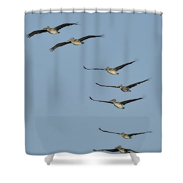 Flock Of Brown Pelicans Shower Curtain