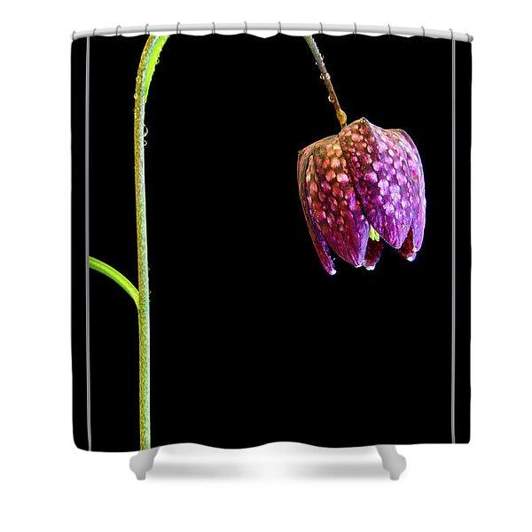 Fritillaria Meleagris, Snakes Head Fritillary Shower Curtain