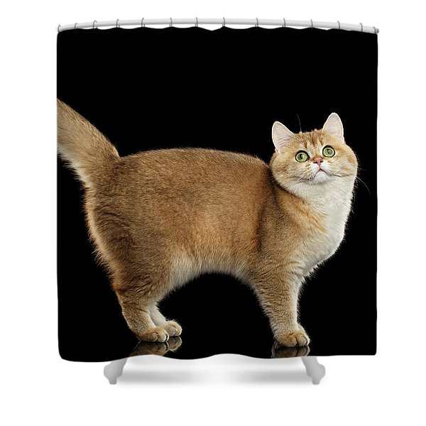 Funny British Cat Golden Color Of Fur Shower Curtain
