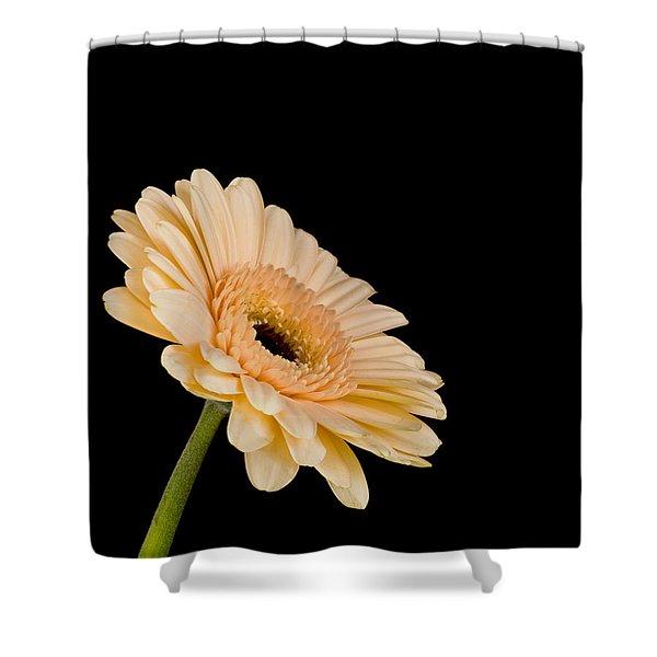 Gerbera Daisy On Black Shower Curtain