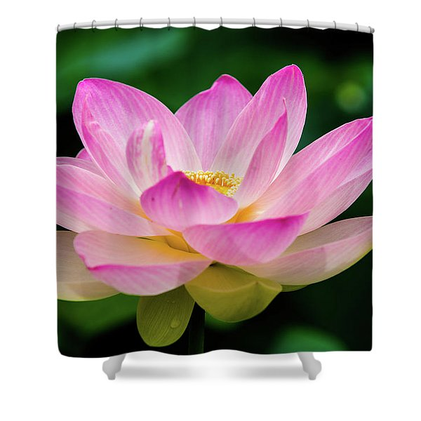 Gigantic Lotus Red Lily Shower Curtain