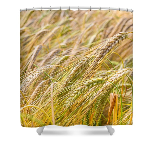 Golden Barley. Shower Curtain