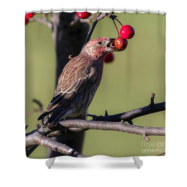 House Finch Vs Crabapple  Shower Curtain