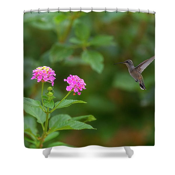Hummingbird And Lantana In The Texas Hill Country 1 Shower Curtain