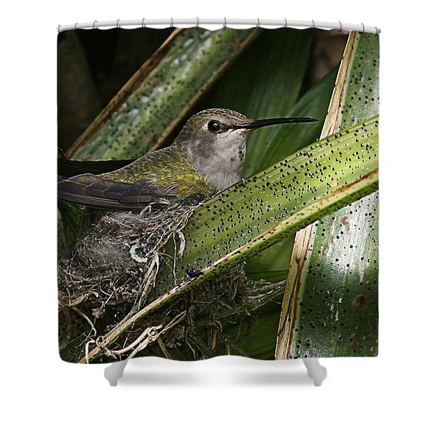 Nesting Anna's Hummingbird Shower Curtain