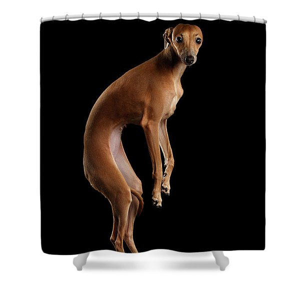Italian Greyhound Dog Jumping, Hangs In Air, Looking Camera Isolated Shower Curtain