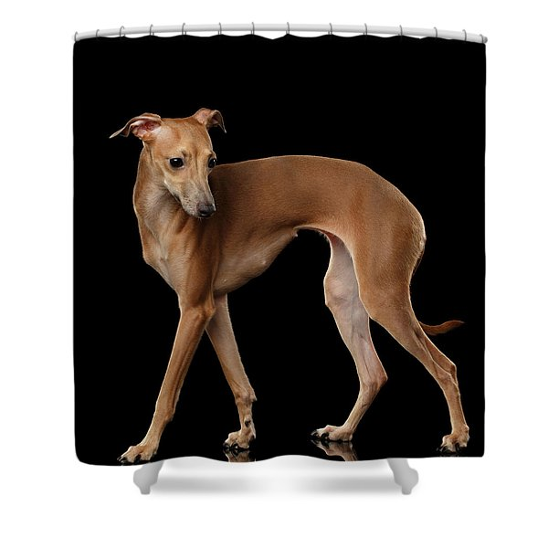 Italian Greyhound Dog Standing  Isolated Shower Curtain