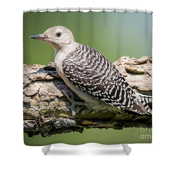 Juvenile Red-bellied Woodpecker Shower Curtain