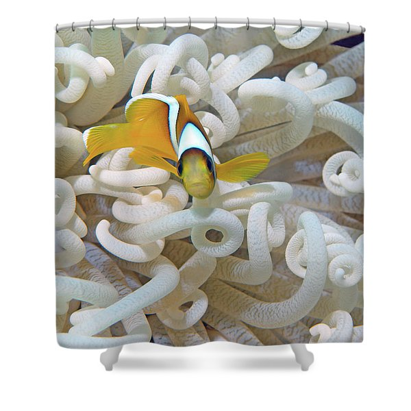 Juvenile Red Sea Clownfish, Eilat, Israel 3 Shower Curtain