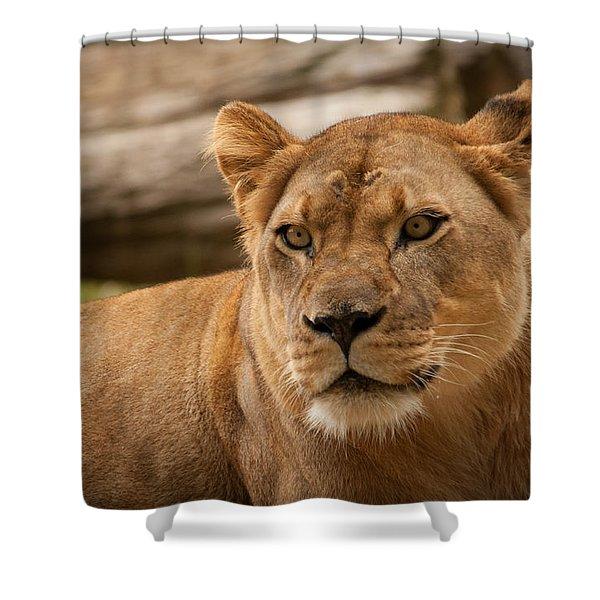Lioness 2 Shower Curtain