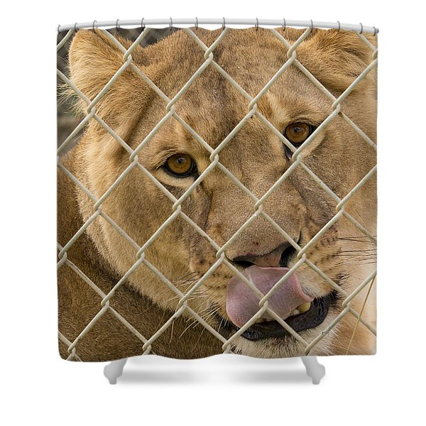 Lioness Licks Shower Curtain