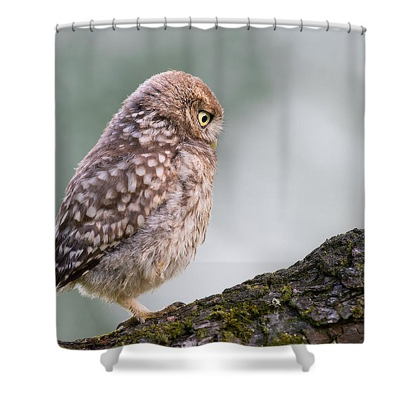Little Owl Chick Practising Hunting Skills Shower Curtain