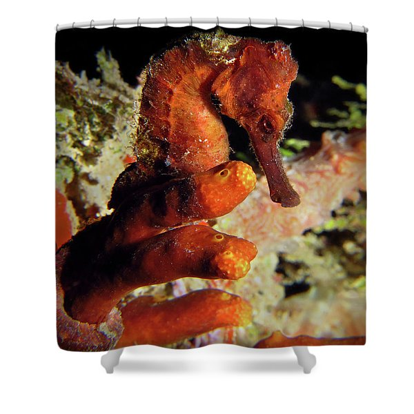 Longsnout Seahorse, St. Croix, U.s. Virgin Islands 2 Shower Curtain