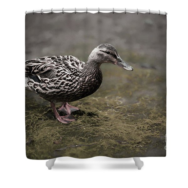 Malard,duckling Shower Curtain
